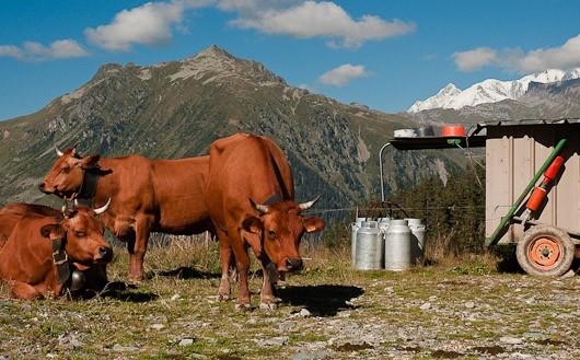 Alpine Regional Cheeses