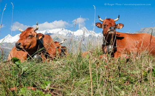 Cattle grazing in Alpine pastures with Mont Blanc in background