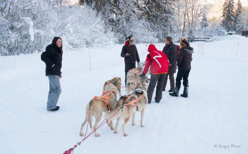 Sled dogs in harness ready to go