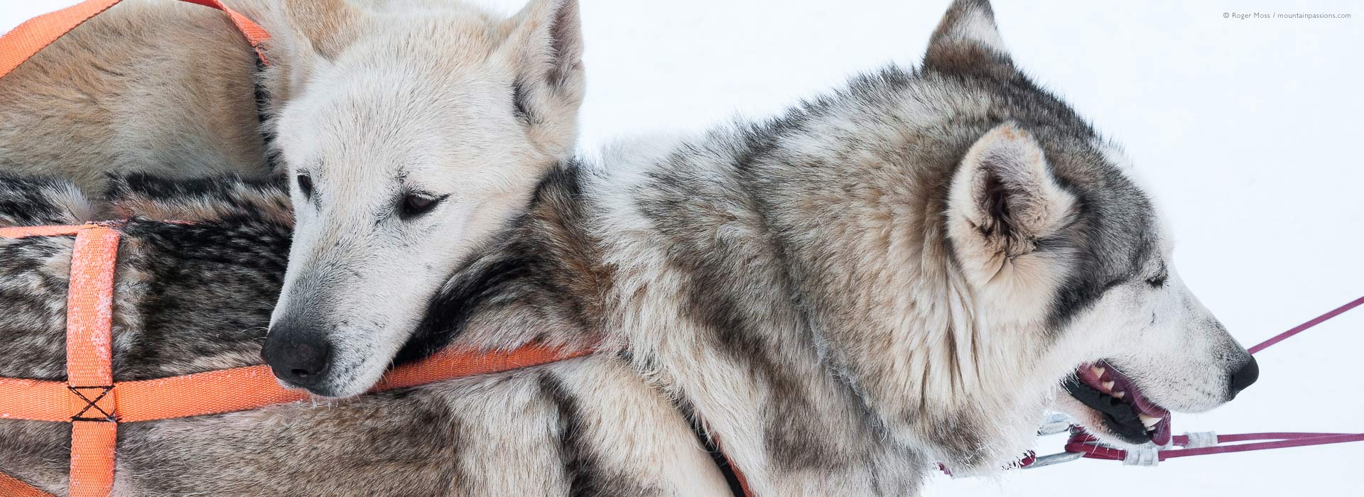 Close-up of heads of two sled dogs, dog-sledding at La Chapelle d'Abondance, Portes du Soleil ski area, French Alps.