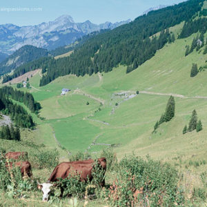 High veiw of cattle grazing above mountain valley at Chatel