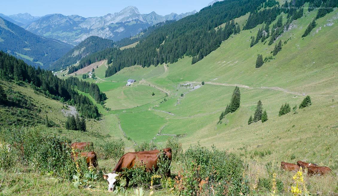Abondance cattle graze the Barbossine Valley, Châtel