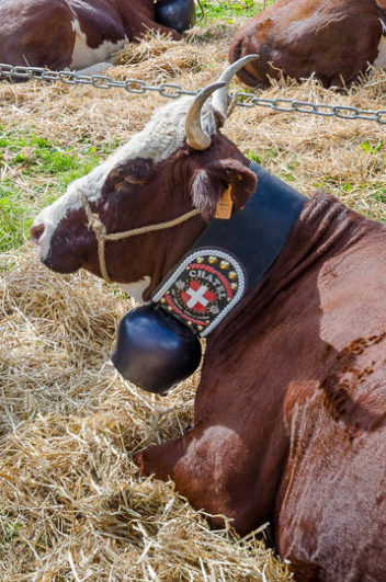 Abondance cow with bell