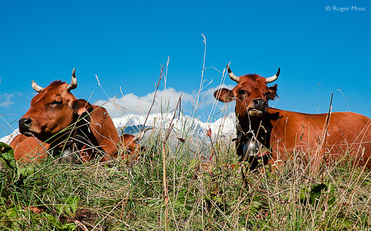 Tarine cattle, Beaufortain