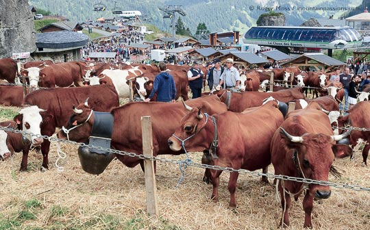 Alpine cattle lined up for judging at la Belle Dimanche festival, Chatel, French Alps