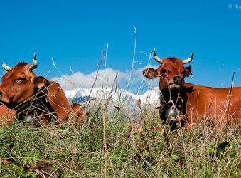 Tarine Cattle, Beaufortain