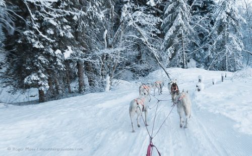 View from dog sled of huskies on snow-covered forest trail at La Chepelle d'Abondance, French Alps.