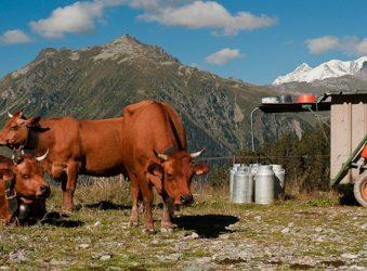 Beaufort Tarine Cows