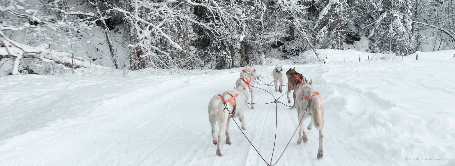 Musher's view of sled dog team with fresh snow and forest