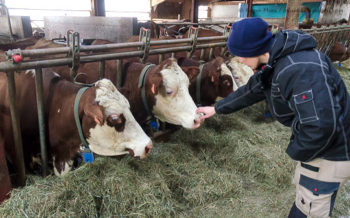 Artisan cheese producer Aurore Delesmillieres with her cattle, Samoens, French Alps